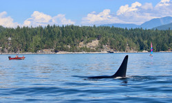 Killer Whale In The Bay