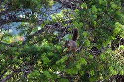 Nattering Squirrel
