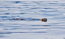 Sea Otter On The Move