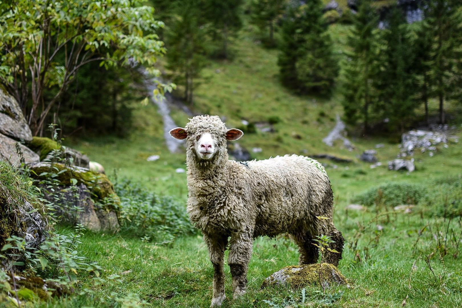 Schaf auf Wiese neben Lagerhaus