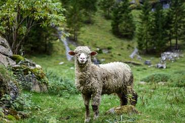 Schaf auf Wiese neben Lagerhaus.jpeg
