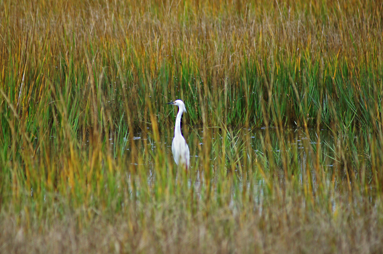 Golden Marsh and Egret