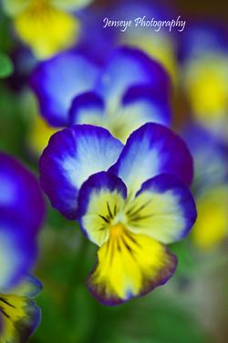 Soft Violas