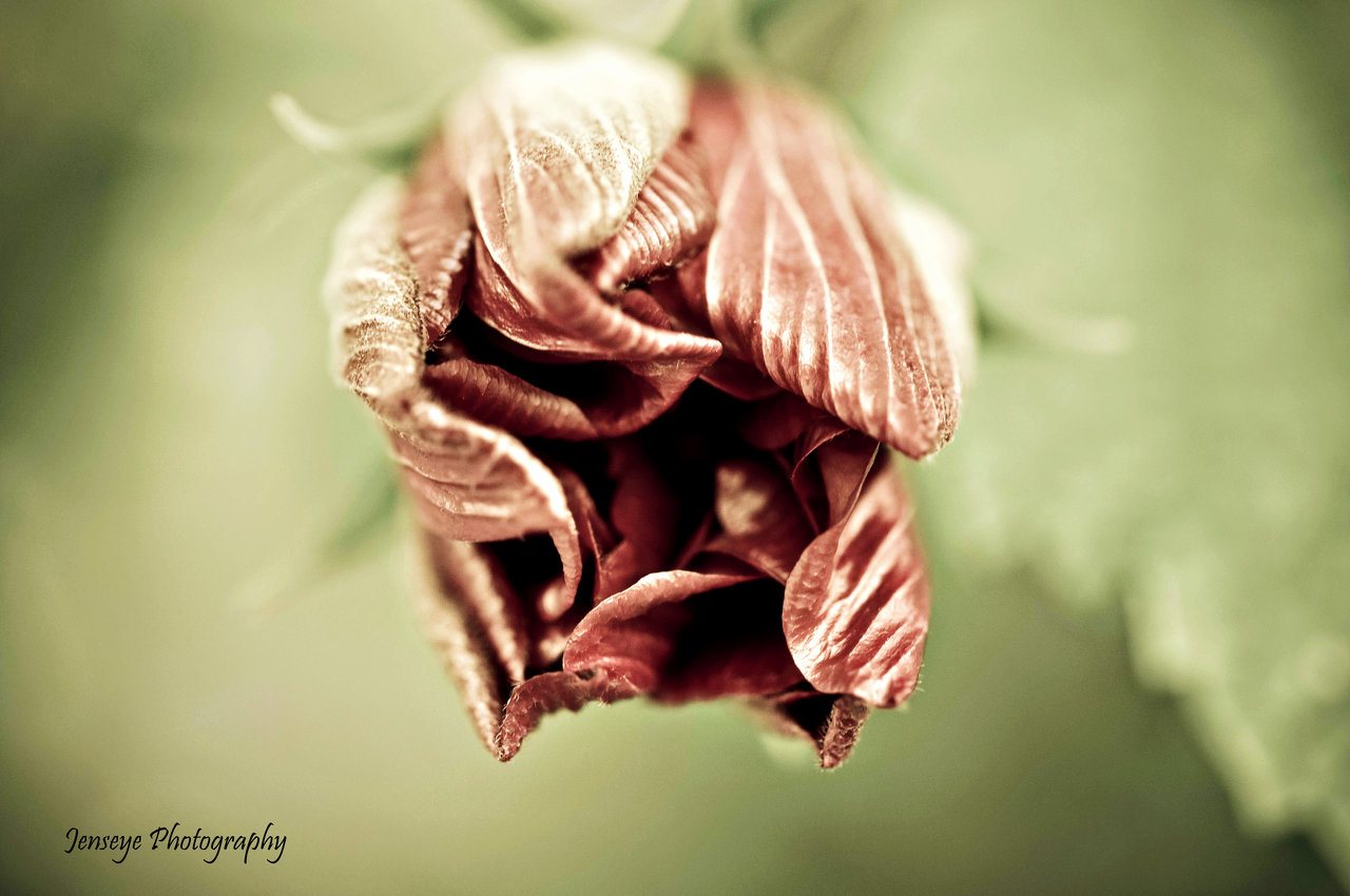 Faded Hibiscus Bud