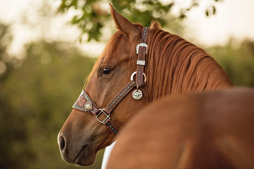 Pictured above is a sorrel quarter horse wearing a western style halter.