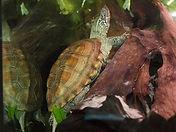 Chinesische Dreikielschildkröte.jpg