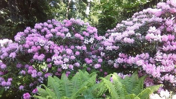 Fliederfarbene Blumenstauden und Farne im botanischen Garten