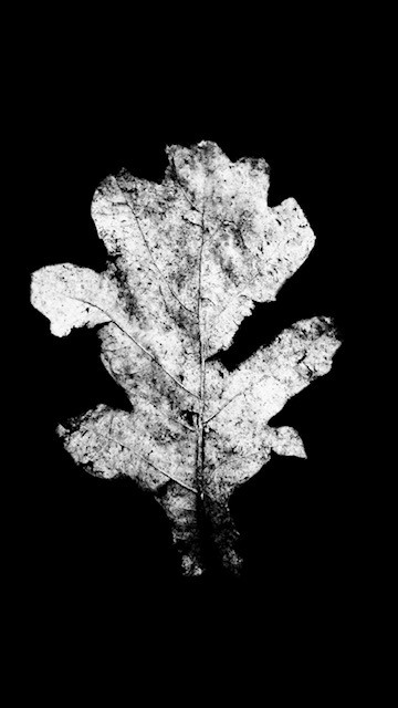 leafwhite4.jpg