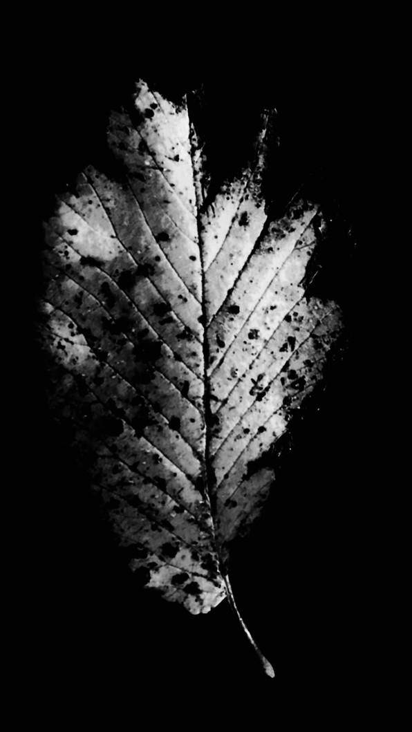 leafwhite6.jpg