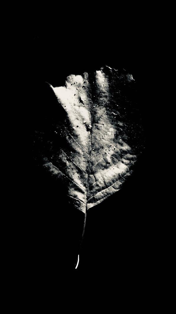 leafwhite3.jpg