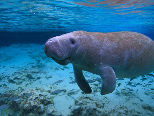 Remi the protected manatee of Bayahibe