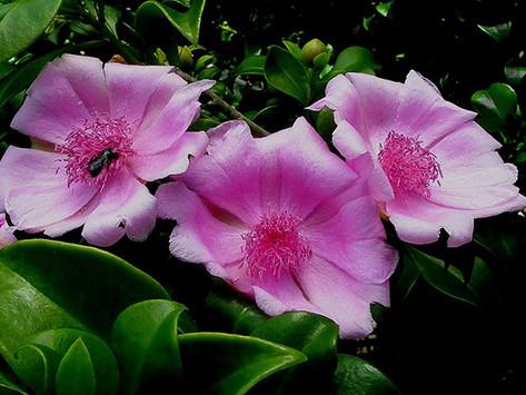La flor de Bayahibe: Flor nacional de la Republica Dominicana