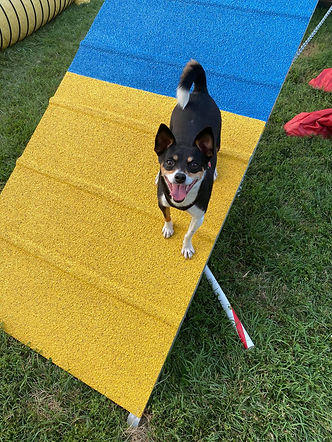 Ella the rat terrier on the A-frame with a big smile on her face