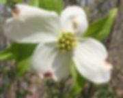 dogwood bloom by Carol.JPG