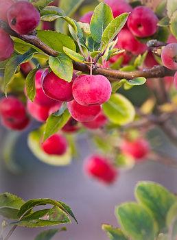 apple-3759622_1920.jpg