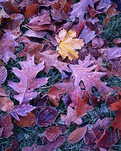 Maple and Oak
