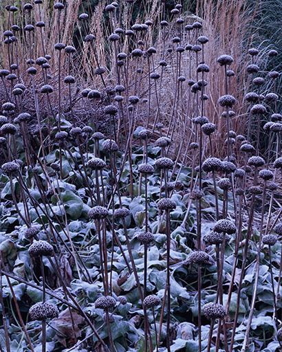 Frosted Phlomis
