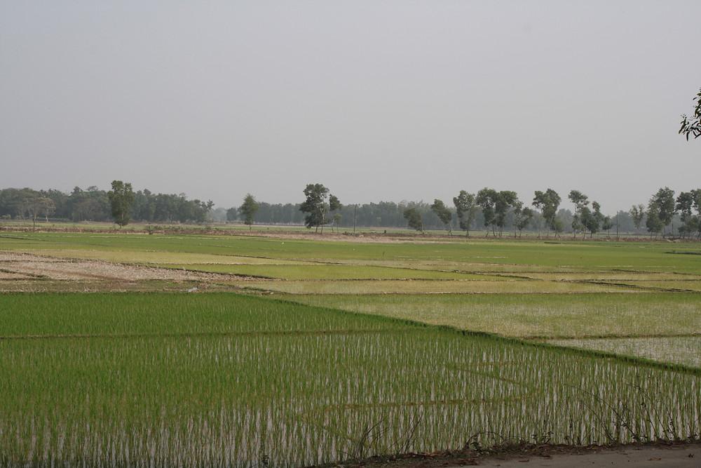 Rice growing in the paddyfields of my Nanu's bari in Banugach