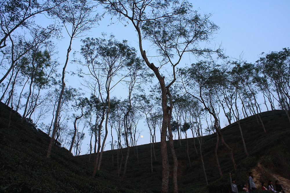 Dusk and the ascending moon in the foothills of Gazipur Tea Estate