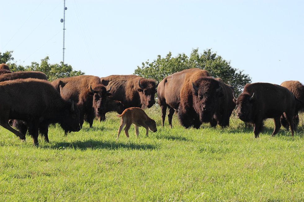 Bison at Whiterock