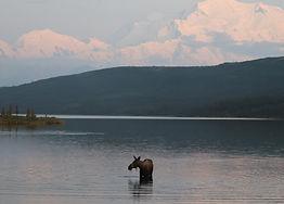 Moose in water cropped.jpg