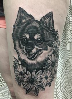 Pomeranian portrait
