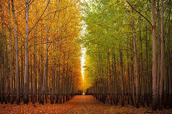 Boardman trees.jpg