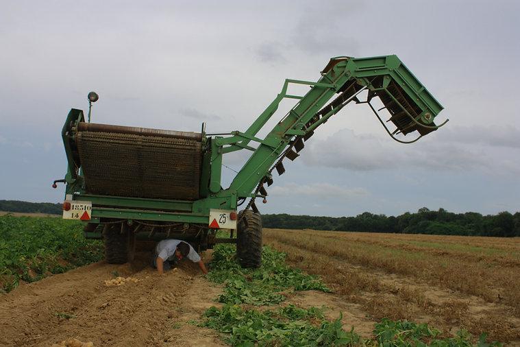 Récolte pommes de terre à Aubigny dans le Vexin Normand