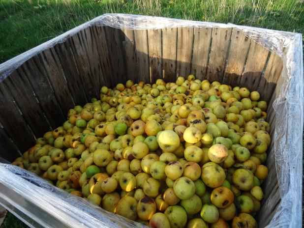 Récolte des pommes à cidreà Aubigny