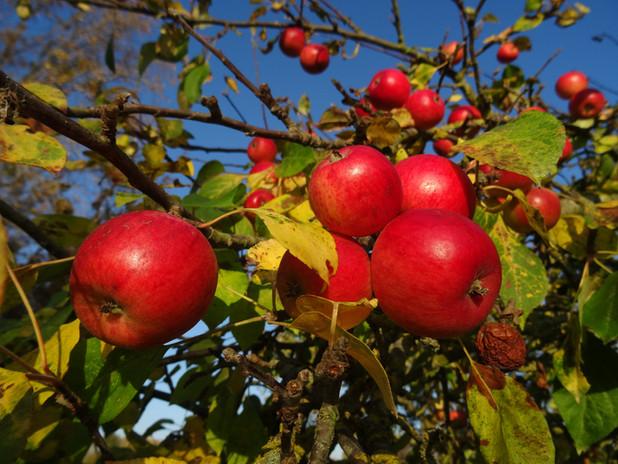 Pommes du verger d'Aubigny