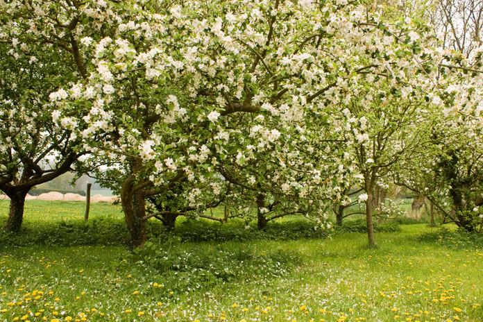 Le verger d'Aubigny en fleur