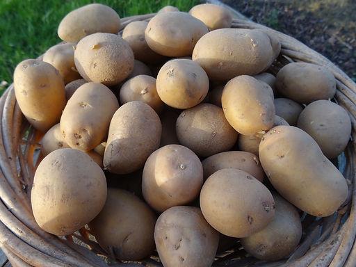 Nazca pommes de terre à chair fondante du Vexin Normand