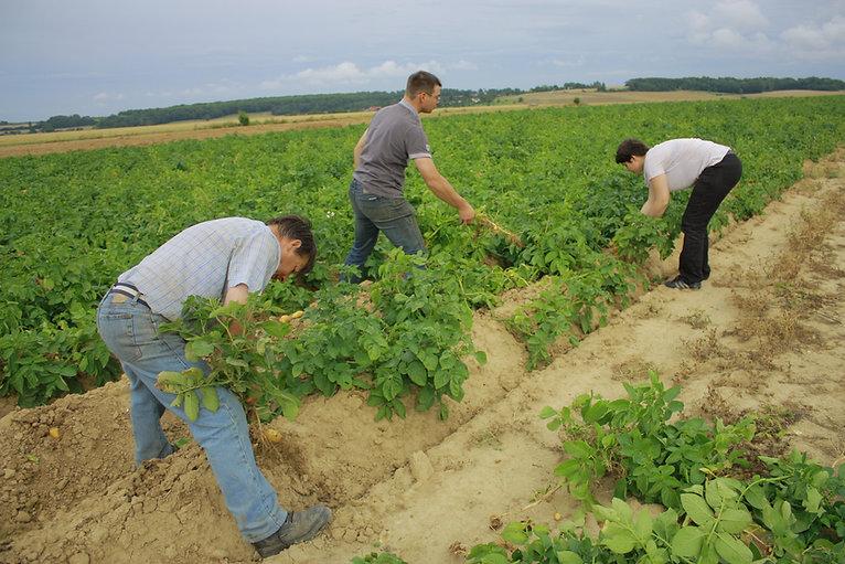 Récolte pommes de terre nouvelles Dans le Vexin Normand