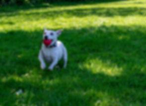 Pippa running Ball.jpg