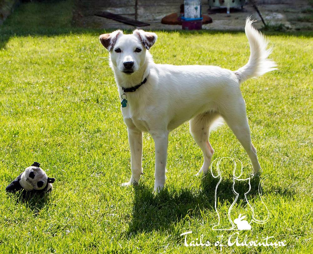 Dog Walker - Reactive Dog - Barnsley - White Dog