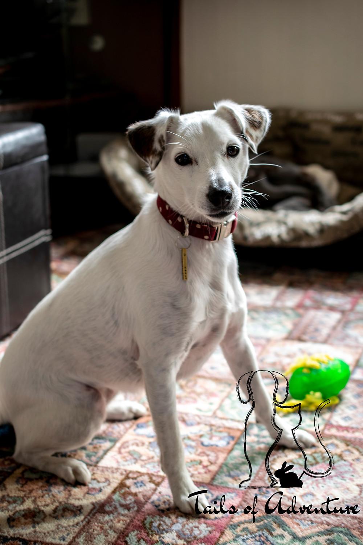 Barnsley - Reactive Dog - White Dog - Dog Walker