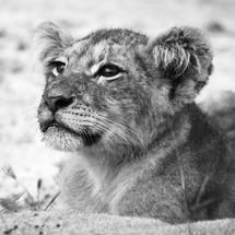 Lion Cub for Johnny Black&White.jpg