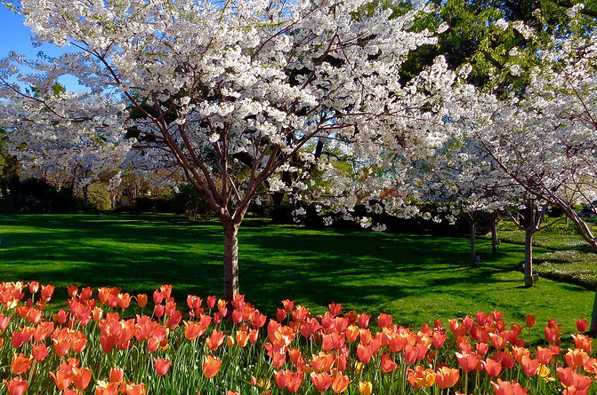 Tulips_CherryBlossomWonder_2016_Valles-X