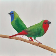 Red Faced and Blue Faced Parrot Finches (Erythrura Psittacea & Erythrura trichroa)