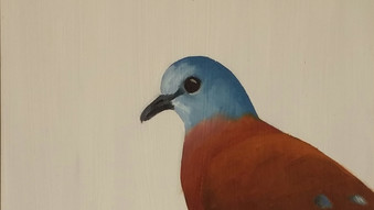 Blue headed wood dove / Turtur brehmeri