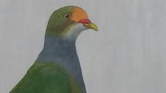 Orange fronted fruit dove (Ptilinopus aurantifrons)