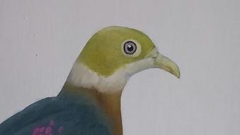 Pink Spotted Fruit Dove (Ptilinopus perlatus)