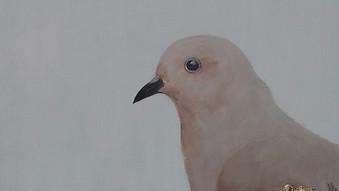 Golden spotted ground dove (Metriopelia aymara)