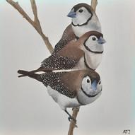 Owl Finch (Taeniopygia bichenovil).jpg