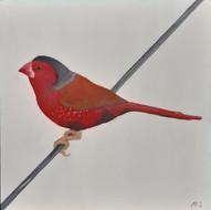 Crimson Finch (Neochmia passerifarmes)