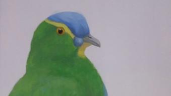 Blue capped fruit dove (Ptilinopus monacha)