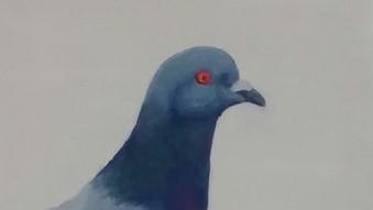 Rock pigeon / Columba livia