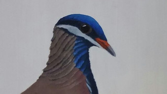 Blue headed quail dove (Starnoenas cyanocephala)