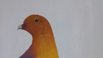 Cinnamon headed fruit dove (Treron fulvicollis)