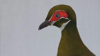 Partridge pigeon (Geophaps smithii)